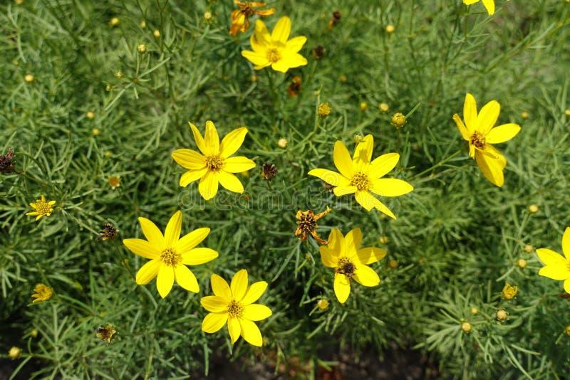 Gwiazdkowaci żółci kwiaty Coreopsis verticillata fotografia royalty free