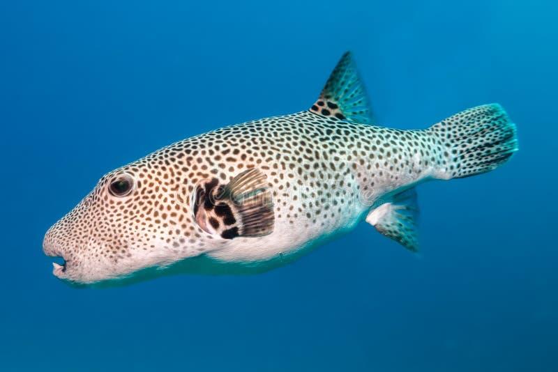 Gwiazdowa puffer ryba fotografia stock