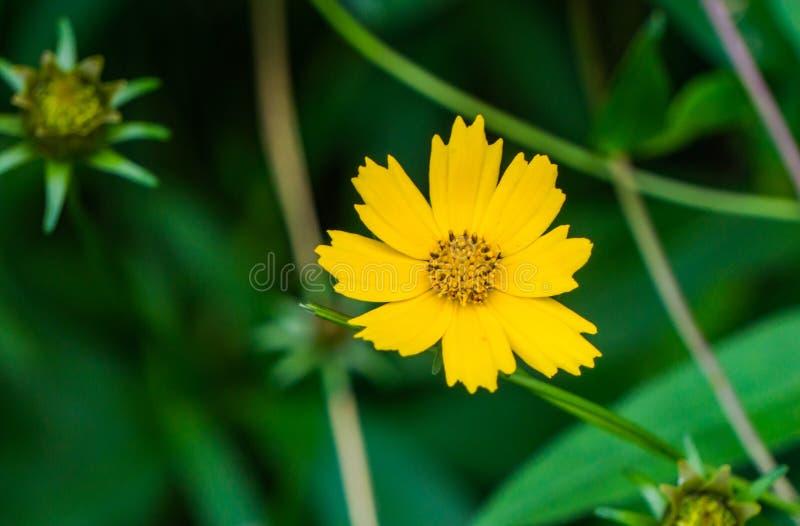 Gwiazdowego Tickseed †'Coreopsis pubescens obraz royalty free
