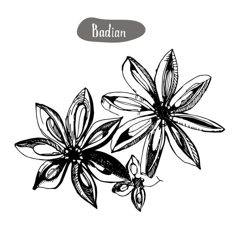 Gwiazdowy anyż lub badian ręka rysujący nakreślenie Grawerujący stylowy pikantności i smaku przedmiot ilustracja wektor