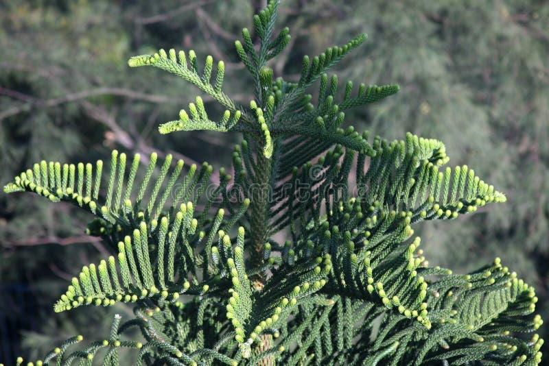 Gwiazdowy Sosnowy Norfolk araukarii Heterophylla Sosnowy drzewo obrazy stock
