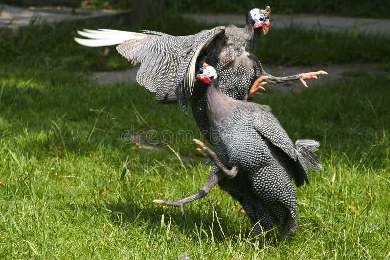 gwinei walczących ptactwo obraz royalty free