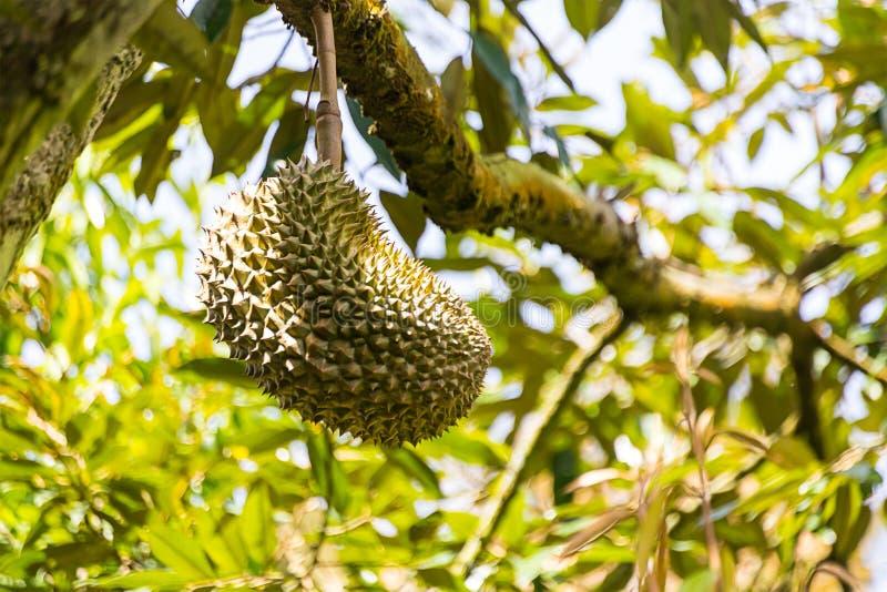 Gwożdżący durian owocowego dorośnięcia obwieszenie na gałąź, silnie wącha owoc, królewiątko owocowy Tajlandia fotografia stock