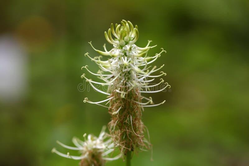 Gwożdżący rampion (Phyteuma spicatum) obrazy royalty free