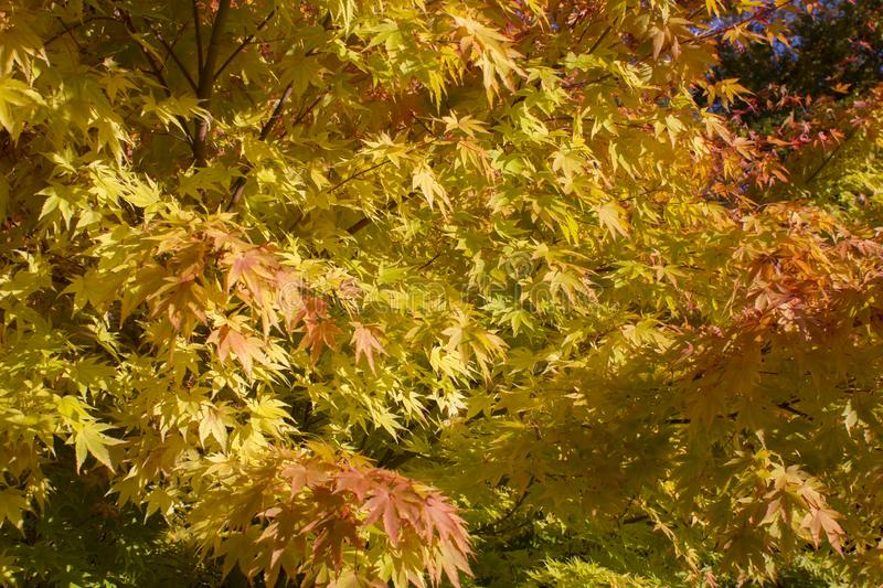 A close up of a maple tree in autumnal colours stock photography