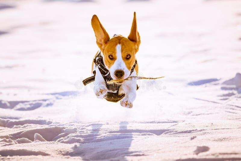 Gyckel för hundkörningsbeagle i snö arkivfoto