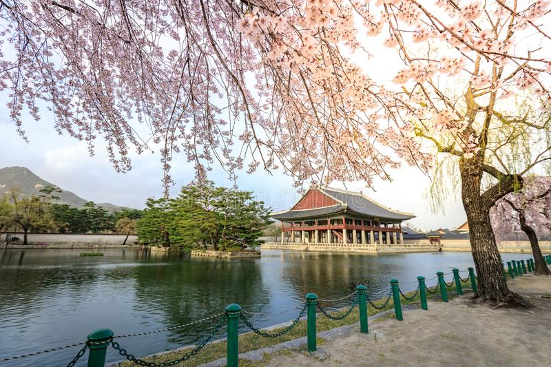 Gyeongbokgung palace with cherry blossom tree in spring time in Seoul city, South Korea. Gyeongbokgung palace with cherry blossom tree in spring time in Seoul stock photography