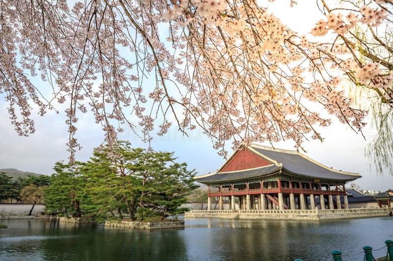 Gyeongbokgung palace with cherry blossom tree in spring time in Seoul city, South Korea. Gyeongbokgung palace with cherry blossom tree in spring time in Seoul royalty free stock photo