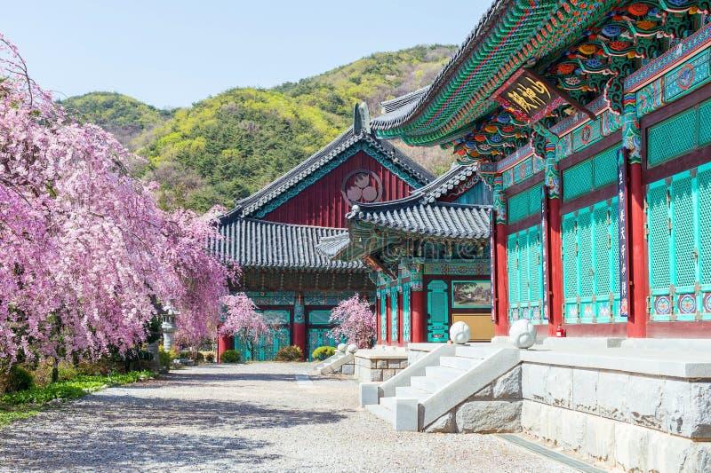 Gyeongbokgung slott med den körsbärsröda blomningen i våren, Korea royaltyfria bilder