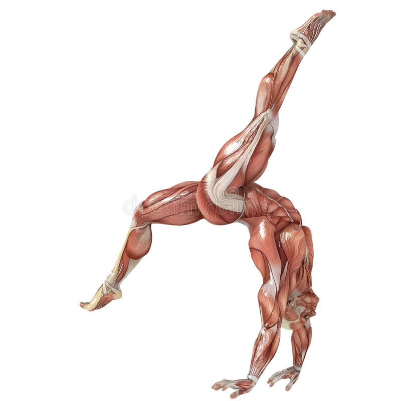 Gymnastics. A male model showing the muscles and his flexibility vector illustration