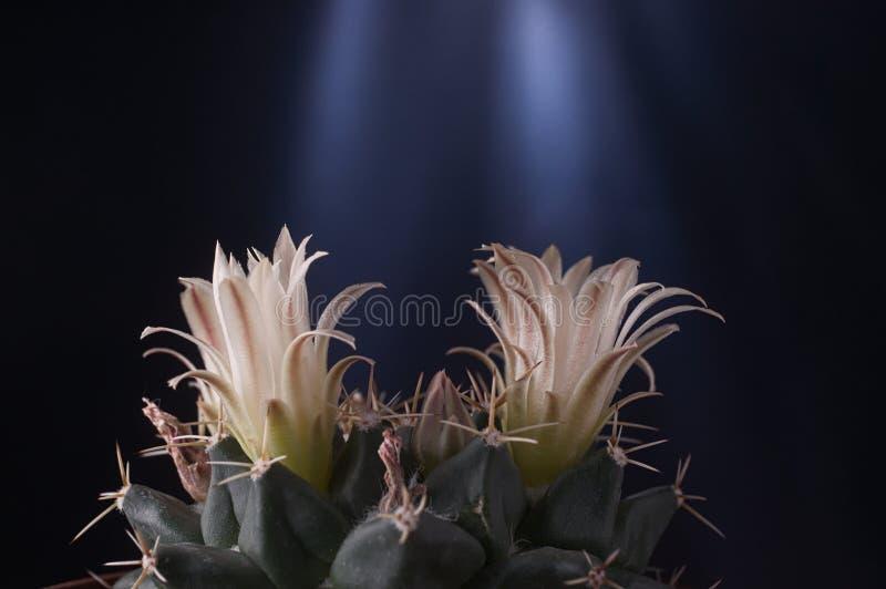 Gymnocalycium baldianium Kinnkaktus-Blumenblumenblätter gegen Dunkelheit stockfoto