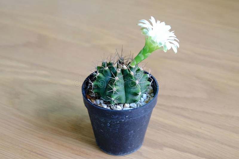Gymnocalycium cactus with flower blooming stock photo