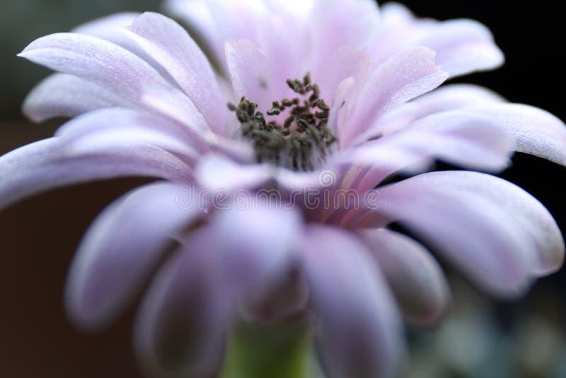 Gymnocalycium kwiatu Kaktusowego trakenu Selekcyjna ostrość fotografia stock
