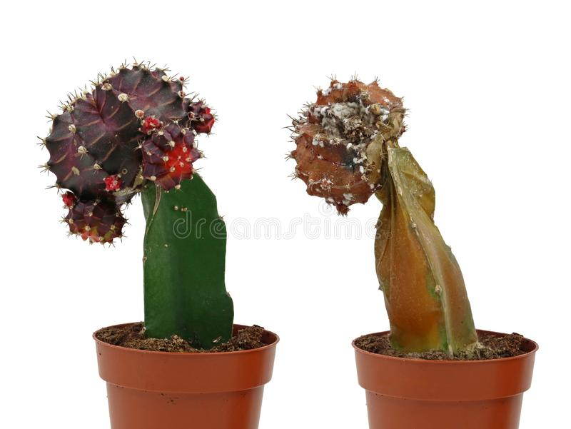 Gymnocalycium mihanovichii, purple cactus with dead cactus plant in the pot isolated on white background royalty free stock photos