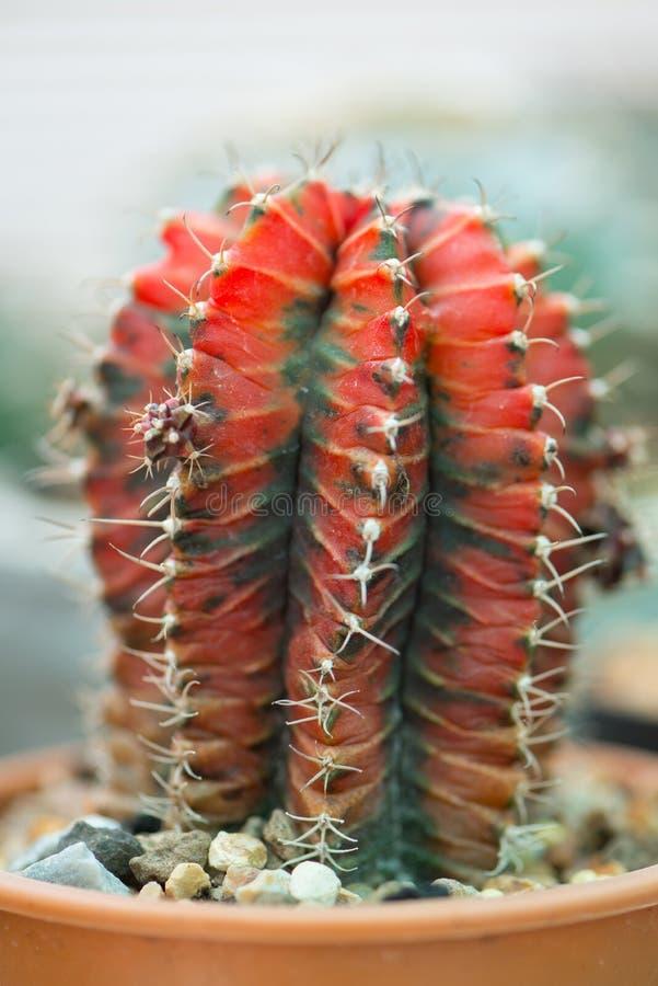 Gymnocalyciumcactus in bloempot stock afbeeldingen