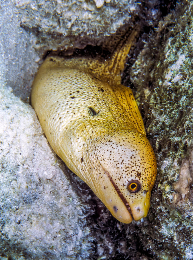 Free Gymnothorax Miliaris, Goldentail Moray Stock Photography - 94096402