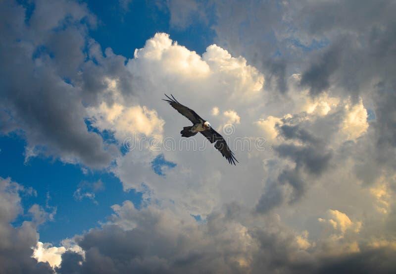 Download Gypaetus Barbatus, Gipeto Barbuto, Bearded Vulture Stock Photo - Image: 85163210