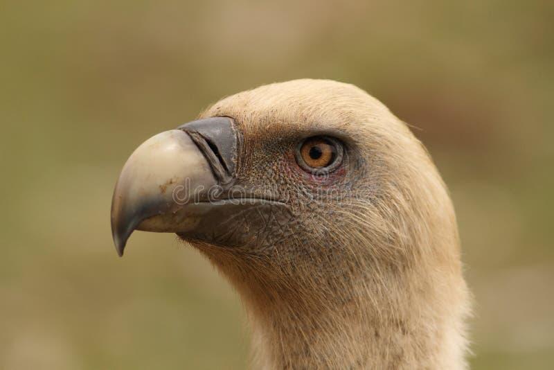 Gyps fulvus griffon vulture head portrait royalty free stock photo