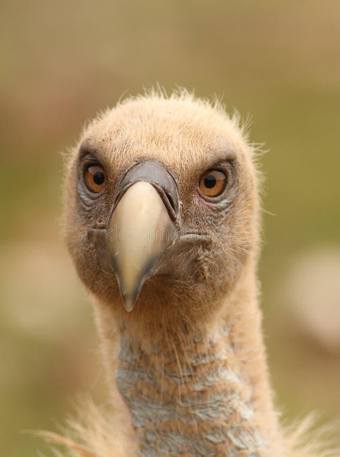 Gyps fulvus griffon vulture head portrait stock photo