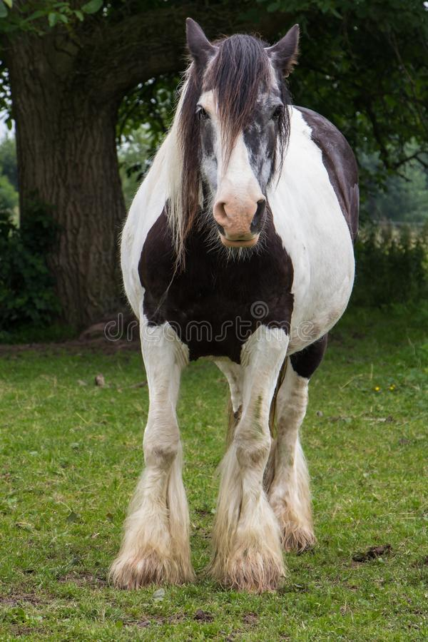 Gypse horse royalty free stock photo