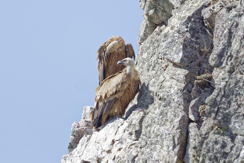 Gypsfulvus, Griffon Vulture royalty-vrije stock afbeeldingen