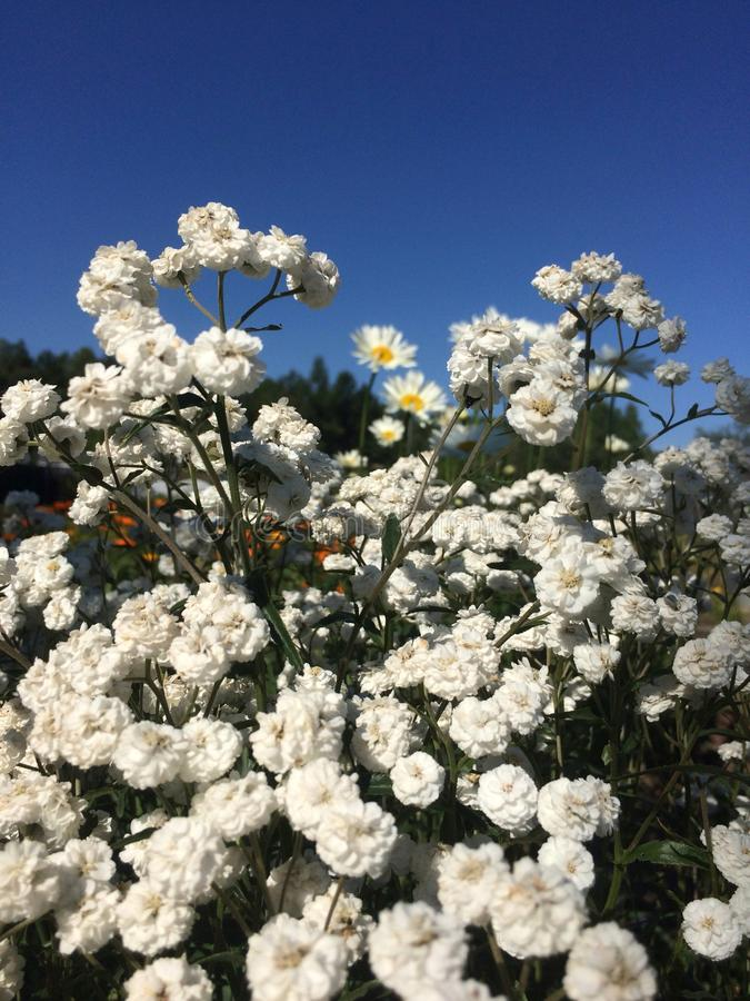 Gypsophila branco das flores do jardim fotografia de stock royalty free