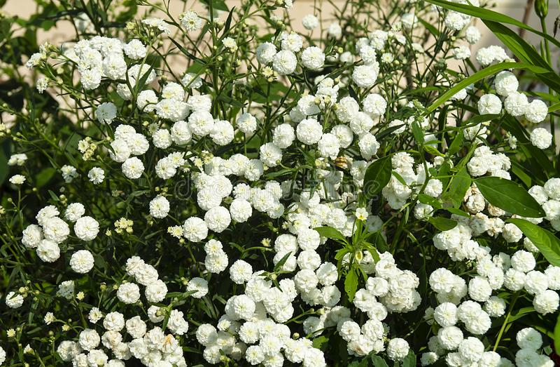 Gypsophila branco dos flowerses no jardim imagem de stock
