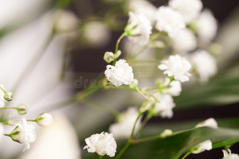 Gypsophila - planta com as flores brancas pequenas fotos de stock royalty free