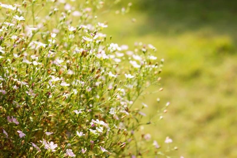 Gypsophilabloemen in de Tuin stock foto's