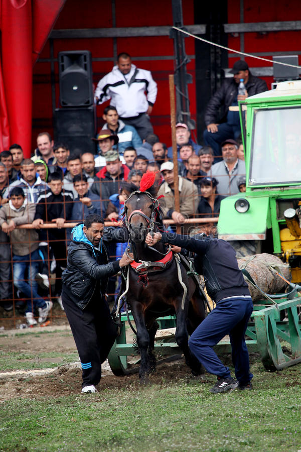 Gypsy horse towing games. VARVARA, BULGARIA - MARCH 29, 2013: Two man hold young strong horse on traditional sport horse towing games held each year in Varvara royalty free stock photos