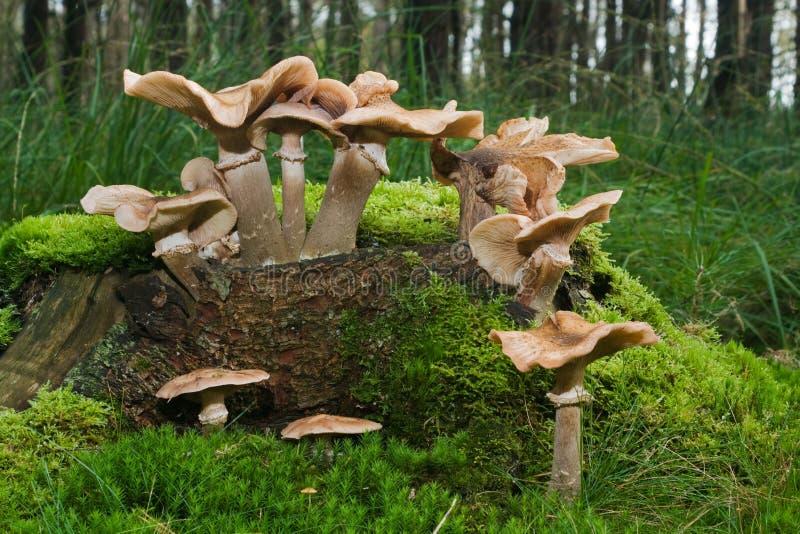 Gypsy Mushrooms stock photo