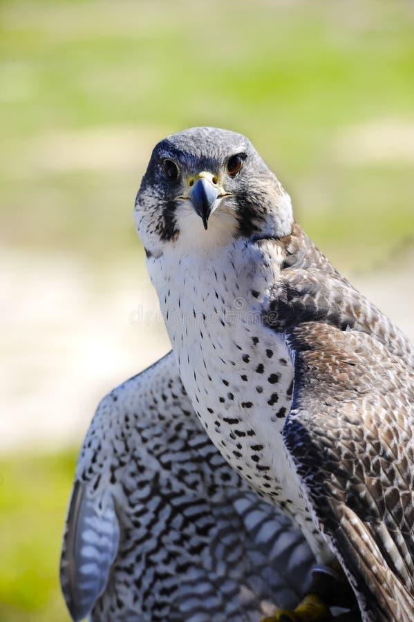 Gyr和旅游猎鹰的杂种 免版税图库摄影