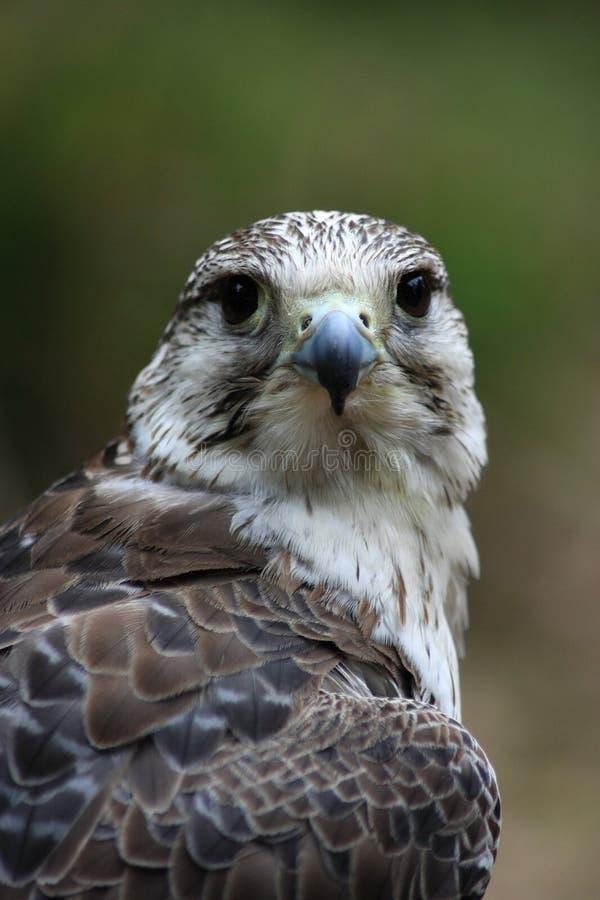 Free Gyr Falcon Front Stock Photos - 20424033