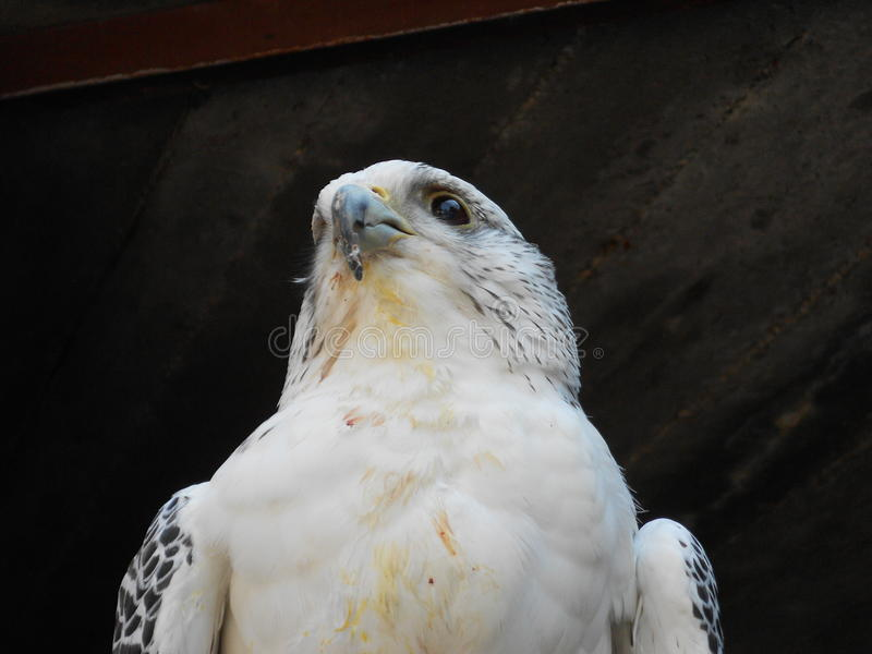 gyrfalcon photo stock