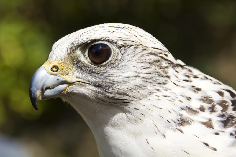 gyrfalcon photographie stock