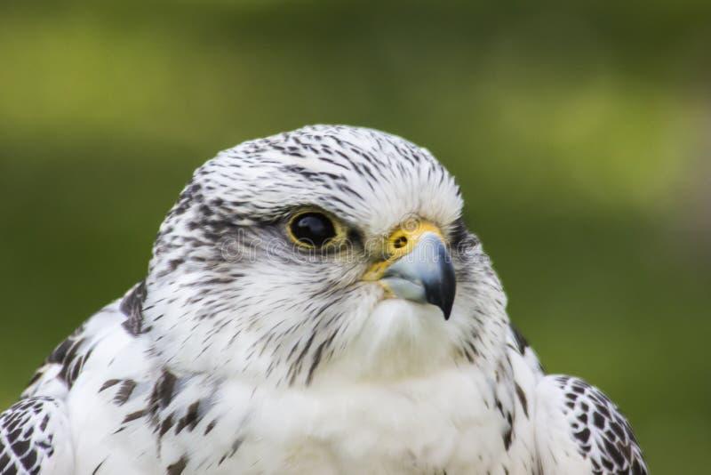 Gyrfalcon Falco Rusticolus imagens de stock