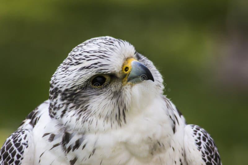 Gyrfalcon Falco Rusticolus fotografia de stock royalty free