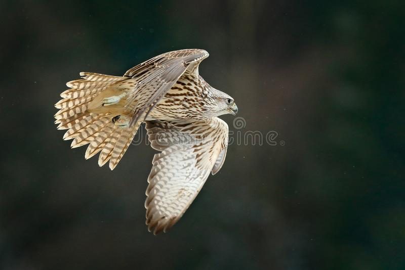 Gyrfalcon, Falco rusticolus, bird of prey fly. Flying rare bird with white head. Forest in cold winter, animal in nature habitat,. Russia. Wildlife scene form stock images