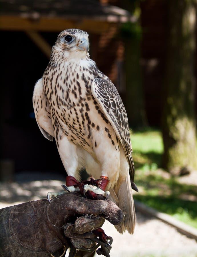 Gyrfalcon se reposant sur le gant du fauconnier images stock