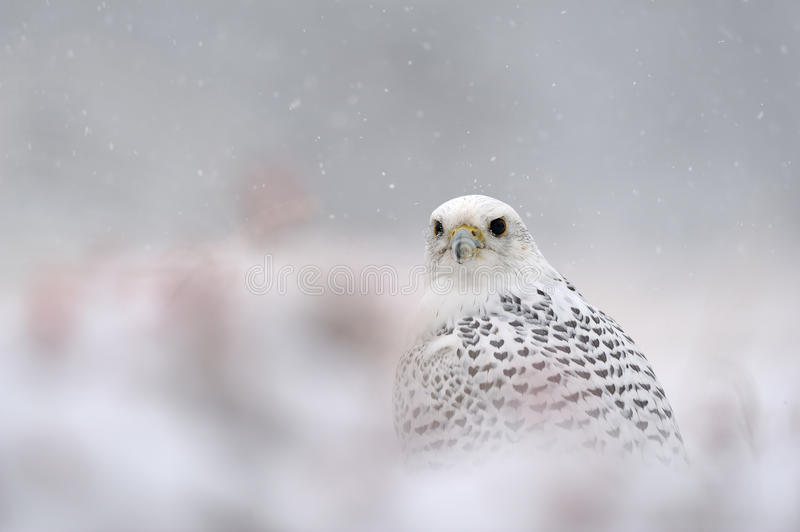 Download Gyrfalcon on snowy winter stock photo. Image of glow - 27747380
