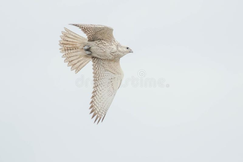 Download Gyrfalcon stock image. Image of organism, nature, america - 109575201