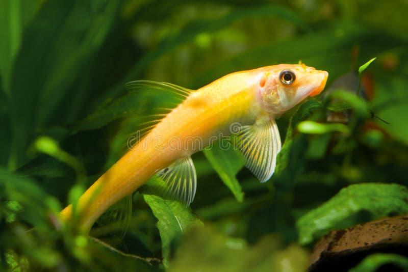 Gyrinocheilus anaranjado, pescado de agua dulce, comedor de las algas en el acuario, foto de la naturaleza del primer fotos de archivo