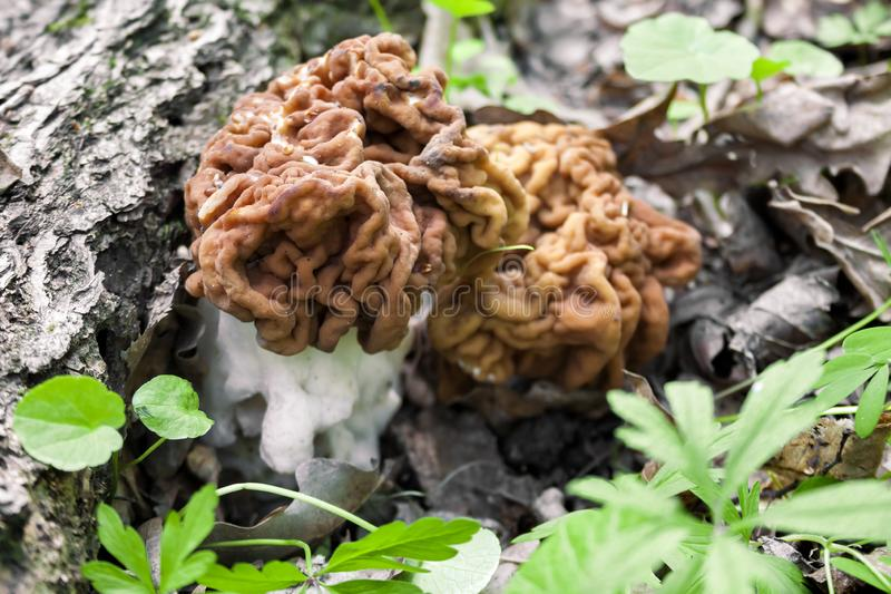 Gyromitra mushroom growing in spring forest royalty free stock images