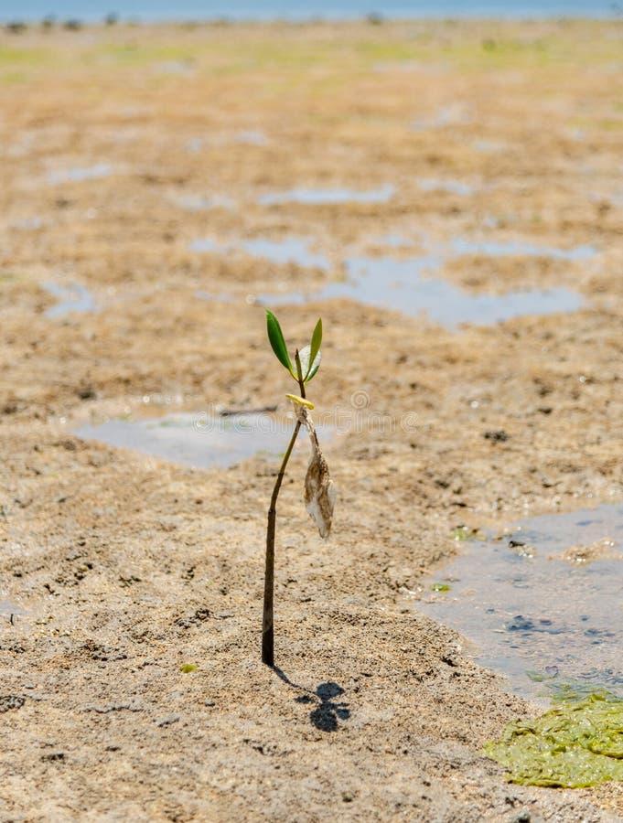 Gyttja sänker på lågvatten med den ensamma mangroven på den Benoa fjärden Bali royaltyfria bilder