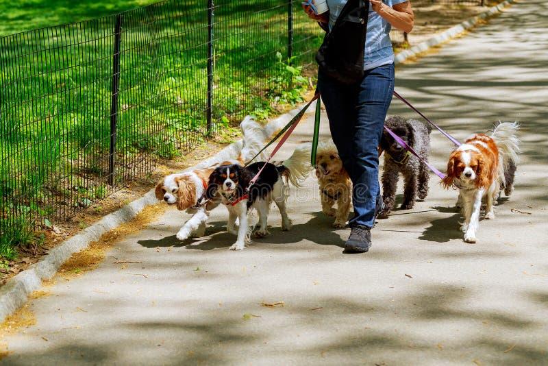Há cães de passeio dos povos na estrada imagem de stock royalty free