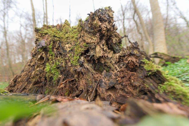 Hábitat natural para los insectos en el bosque por la mañana Madera putrefacta como protección para preservar biodiversidad imagen de archivo libre de regalías