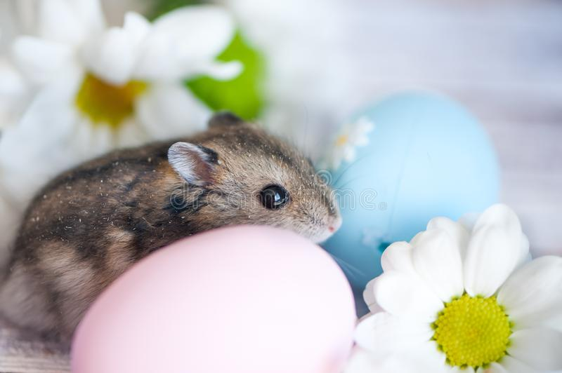Hámster, junggar en las flores de manzanillas y con Pascua eg. fotos de archivo libres de regalías