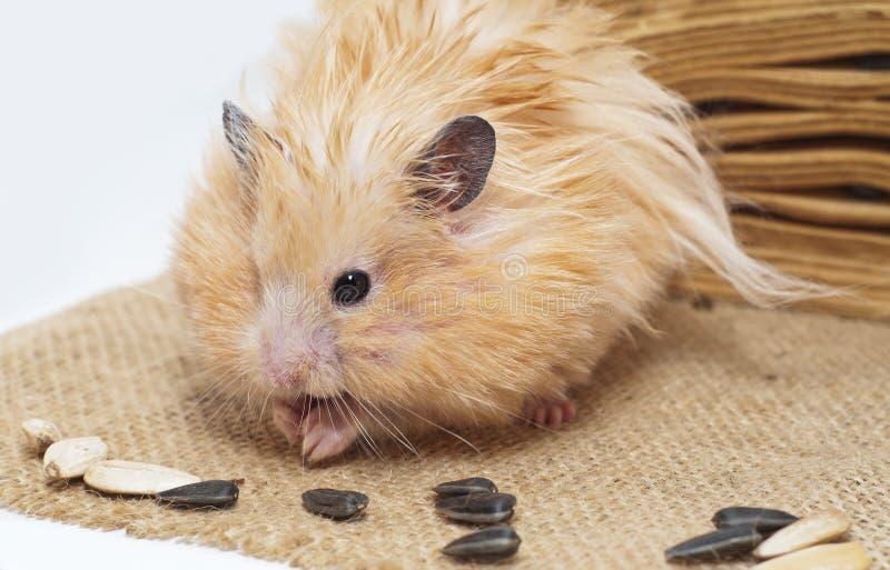 Hámster masculino que come las semillas de girasol fotografía de archivo libre de regalías