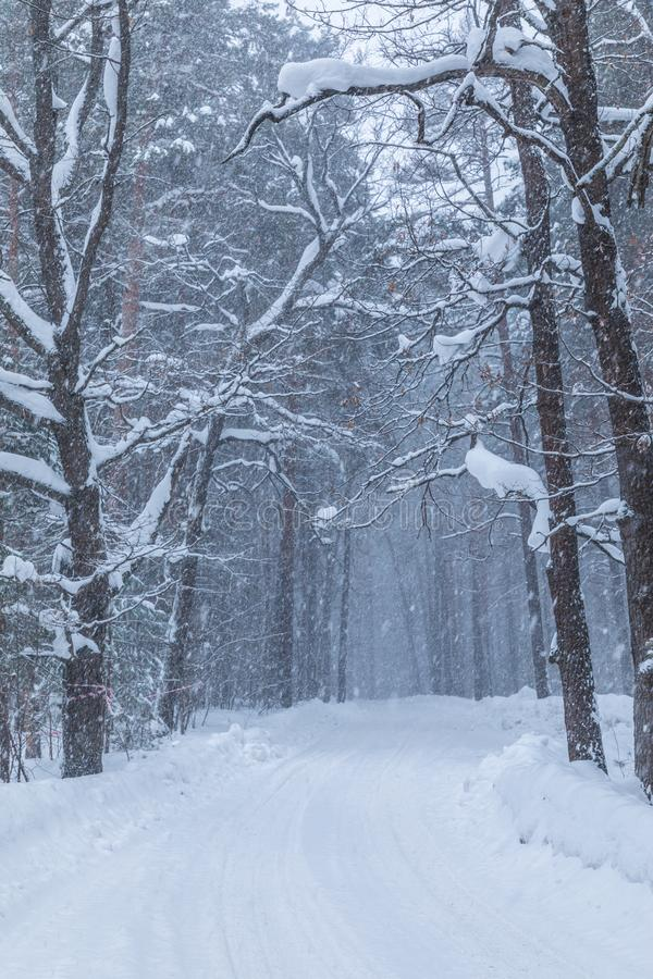 Häftiga snöstormen i vinterskogen eller att parkera med den fallande snön royaltyfri fotografi