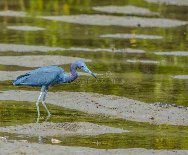 Häger för små blått på den vatten- reserven för citronfjärd i Cedar Point Environmental Park, Sarasota County, Florida arkivbilder